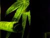 Reflex Cannabis Cap - 25